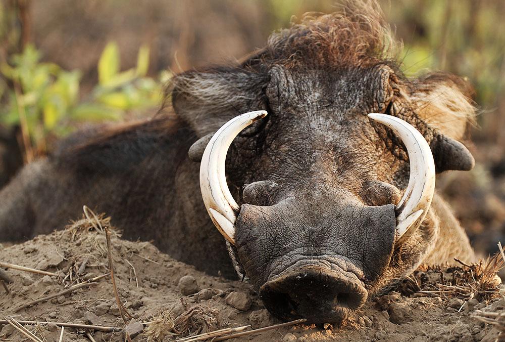 Warthog Hunting Cameroon