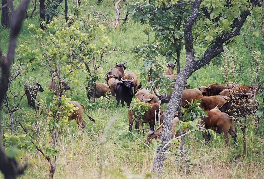 Buffalo Hunting Cameroon