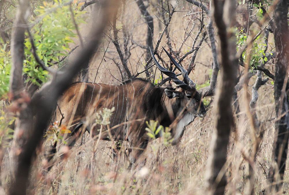 Giant Eland Hunting