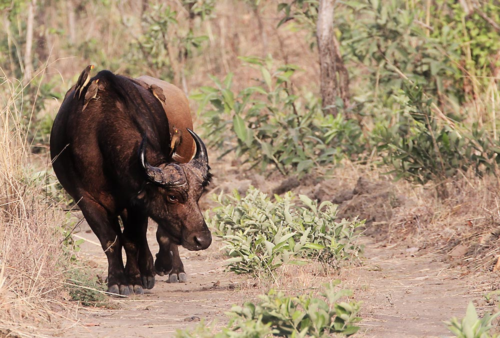 Big Game Hunting Africa