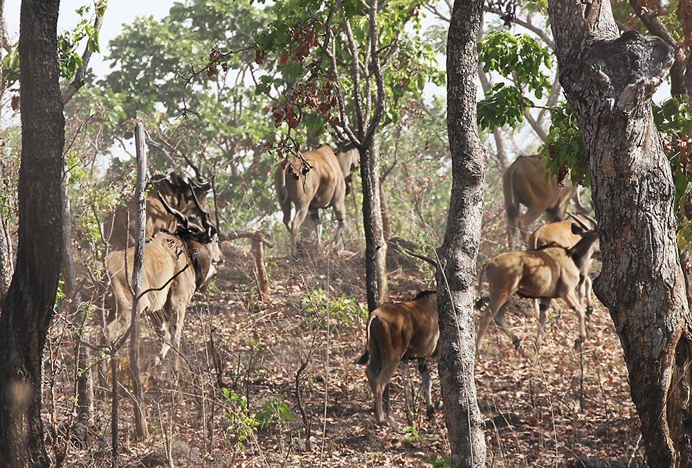 Derby Eland Hunting