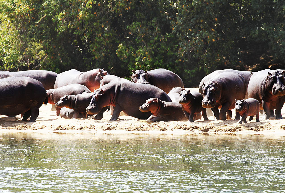 Hippo Hunting Cameroon