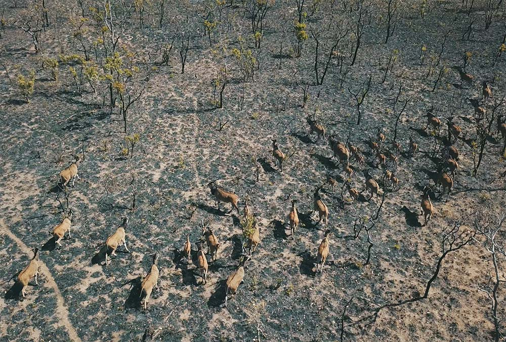 Giant Eland Hunting Cameroon